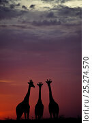 Купить «Giraffe (Giraffa camelopardalis) three standing together, silhouetted at dusk, Okavango Delta, Botswana», фото № 25274570, снято 19 сентября 2018 г. (c) Nature Picture Library / Фотобанк Лори