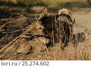 Купить «African lion (Panthera leo) pride starting to feed on alive Cape buffalo (Syncerus caffer caffer) Okavango Delta, Botswana», фото № 25274602, снято 20 марта 2019 г. (c) Nature Picture Library / Фотобанк Лори