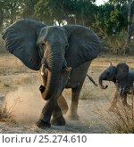 Купить «African elephant charging (Loxodonta africana) female with young calf, Okavango Delta, Botswana», фото № 25274610, снято 19 августа 2019 г. (c) Nature Picture Library / Фотобанк Лори
