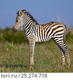 Burchell's Zebra (Equus quagga) newborn foal. Masai Mara, Kenya. Стоковое фото, фотограф Andy Rouse / Nature Picture Library / Фотобанк Лори
