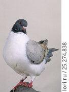 Купить «Domestic Pigeon (English Modena).», фото № 25274838, снято 22 февраля 2019 г. (c) Nature Picture Library / Фотобанк Лори