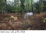 Купить «New Forest pony grazing in Matley Wood, New Forest National Park, Hampshire, UK, October 2009», фото № 25275154, снято 23 мая 2018 г. (c) Nature Picture Library / Фотобанк Лори