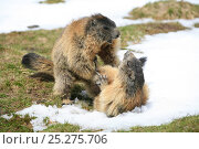 Alpine marmots (Marmota marmota) fighting, Hohe Tauern National Park, Austrian Alps, Austria, May. Стоковое фото, фотограф Konstantin Mikhailov / Nature Picture Library / Фотобанк Лори
