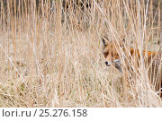 Купить «Red fox (Vulpes vulpes) behind long grass, The Netherlands, March», фото № 25276158, снято 18 января 2020 г. (c) Nature Picture Library / Фотобанк Лори
