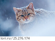 Wild cat (Felis silvestris) in snowstorm, captive, Germany. Стоковое фото, фотограф Edwin Giesbers / Nature Picture Library / Фотобанк Лори
