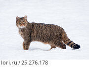 Купить «RF- Wild cat (Felis silvestris) in snow, captive. Germany.», фото № 25276178, снято 7 мая 2019 г. (c) Nature Picture Library / Фотобанк Лори