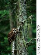 Купить «Spotted owl (Strix nebulosa) Gifford-Pinchot National Forest, Washington USA», фото № 25276570, снято 26 марта 2019 г. (c) Nature Picture Library / Фотобанк Лори