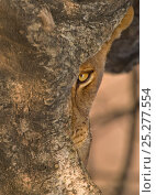 Купить «African Lion (Panthera leo) adult looking from behind tree, half hidden. South Luangwa, Zambia, Africa.», фото № 25277554, снято 19 сентября 2018 г. (c) Nature Picture Library / Фотобанк Лори