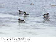 Купить «Northern phalararope (Phalaropus lobatus) on Agapa River, Taimyr Peninsula,  Siberia, Russia, June», фото № 25278458, снято 17 октября 2019 г. (c) Nature Picture Library / Фотобанк Лори