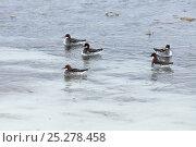 Купить «Northern phalararope (Phalaropus lobatus) on Agapa River, Taimyr Peninsula,  Siberia, Russia, June», фото № 25278458, снято 13 октября 2019 г. (c) Nature Picture Library / Фотобанк Лори