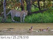 Купить «Leopard (Panthera pardus) watching Egyptian geese on water (Alopochen aegyptiaca) Okavango Delta, Botswana», фото № 25278510, снято 19 октября 2018 г. (c) Nature Picture Library / Фотобанк Лори