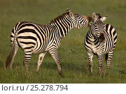Common Zebra (Equus quagga) biting a competitor. Masai Mara, Kenya. Стоковое фото, фотограф Andy Rouse / Nature Picture Library / Фотобанк Лори