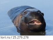 Pygmy hippopotamus (Choeropsis liberiensis) in water, captive. Стоковое фото, фотограф Edwin Giesbers / Nature Picture Library / Фотобанк Лори