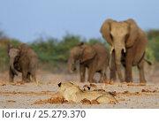 Купить «African lions (Panthera leo) watching as African elephants (Loxodonta africana) approach a waterhole, Etosha National Park, Namibia, October», фото № 25279370, снято 15 августа 2018 г. (c) Nature Picture Library / Фотобанк Лори