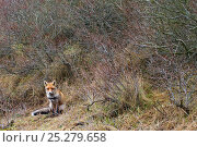 Купить «Red fox (Vulpes vulpes) sitting, The Netherlands, March», фото № 25279658, снято 18 января 2020 г. (c) Nature Picture Library / Фотобанк Лори