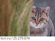 Wild cat (Felis silvestris) looking from behind tree, captive, Germany. Стоковое фото, фотограф Edwin Giesbers / Nature Picture Library / Фотобанк Лори