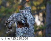 Купить «Ural Owl (Strix uralensis) bringing rodent prey to feed to chick in nest hole, in tree stump, Kuusamo Finland May», фото № 25280366, снято 17 января 2019 г. (c) Nature Picture Library / Фотобанк Лори