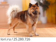Купить «Eurasier, male, standing.», фото № 25280726, снято 26 марта 2019 г. (c) Nature Picture Library / Фотобанк Лори