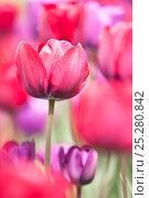 Купить «Tulips (Tulipa) cultivated, Schwerin, Germany», фото № 25280842, снято 20 октября 2019 г. (c) Nature Picture Library / Фотобанк Лори