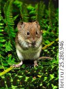 Купить «Harvest mouse (Micromys minutus soricinus) feeding on blackberry, captive, Dorset, UK, October», фото № 25280946, снято 16 февраля 2019 г. (c) Nature Picture Library / Фотобанк Лори