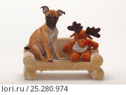 Mixed Breed puppy, 12 weeks / Pug crossbred, sitting on small sofa with reindeer toy. Стоковое фото, фотограф Petra Wegner / Nature Picture Library / Фотобанк Лори