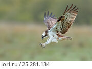 Купить «Osprey (Pandion haliaetus) male 'Monty' diving with claws outstretched. Dyfi Estuary, Wales, August. Sequence 1 of 2. It is the first time ospreys have bred at this location for 400 years.», фото № 25281134, снято 18 июля 2018 г. (c) Nature Picture Library / Фотобанк Лори