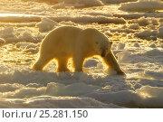 Купить «Polar Bear (Ursus maritimus) in arctic ice landscape with midnight sun. Nordaustlandet, Svalbard, August.», фото № 25281150, снято 23 февраля 2020 г. (c) Nature Picture Library / Фотобанк Лори