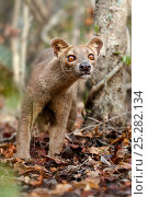 Adult Fossa (Crytoprocta ferox) female on deciduous forest floor.... Стоковое фото, фотограф Nick Garbutt / Nature Picture Library / Фотобанк Лори