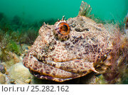 Купить «Sea scorpion / scorpionfish (Taurulus bubalis) waiting on seabed to ambush prey, Selsey, West Sussex, UK, May», фото № 25282162, снято 22 июля 2018 г. (c) Nature Picture Library / Фотобанк Лори