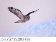 Купить «Ural Owl (Strix uralensis) in flight over snow. Virumaa, Estonia, Europe, February.», фото № 25283498, снято 26 марта 2019 г. (c) Nature Picture Library / Фотобанк Лори