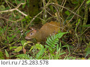 Купить «Central American Agouti (Dasyprocta punctata) in vegetation. Costa Rican tropical rainforest.», фото № 25283578, снято 20 января 2020 г. (c) Nature Picture Library / Фотобанк Лори