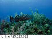 Купить «Black Grouper (Mycteroperca bonaci) on coral reef, Jardines de la Reina National Park, Cuba, Caribbean», фото № 25283682, снято 22 марта 2019 г. (c) Nature Picture Library / Фотобанк Лори