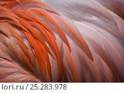 Купить «Greater flamingo (Phoenicopterus ruber) feathers on back, captive», фото № 25283978, снято 18 января 2020 г. (c) Nature Picture Library / Фотобанк Лори