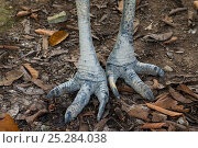 Купить «Male Autralian / Southern cassowary (Casuarius casuarius) feet close-up, captive», фото № 25284038, снято 16 октября 2019 г. (c) Nature Picture Library / Фотобанк Лори