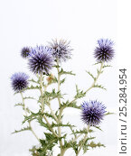 Купить «Globe Thistle (Echinops ritro) in flower. Provence, France, August.», фото № 25284954, снято 24 мая 2018 г. (c) Nature Picture Library / Фотобанк Лори