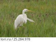 Купить «Great white egret (Ardea alba) walking through wetland, Camargue, France, April», фото № 25284978, снято 6 декабря 2019 г. (c) Nature Picture Library / Фотобанк Лори