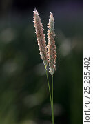 Купить «Meadow Foxtail / Foxtail Grass (Alopecurus pratensis) flowering, a perennial grass. Picardie, France, May.», фото № 25285402, снято 24 сентября 2018 г. (c) Nature Picture Library / Фотобанк Лори