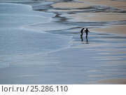 Купить «Silhouette of two people walking on wide expanse of beach, Luskentyre, North Harris, Western Isles / Outer Hebrides, Scotland, UK, May 2011», фото № 25286110, снято 18 марта 2018 г. (c) Nature Picture Library / Фотобанк Лори