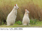 Bennett's wallaby, Tasmanian subspecies of Red-necked wallaby (Macropus rufogriseus) mother and joey, albino form, Bruny Island, Tasmania, Australia, January. Стоковое фото, фотограф Dave Watts / Nature Picture Library / Фотобанк Лори