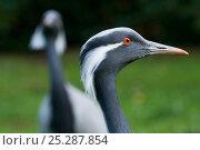 Купить «Demoiselle crane (Anthropoides virgo) portrait, another in the distance, captive», фото № 25287854, снято 19 ноября 2018 г. (c) Nature Picture Library / Фотобанк Лори