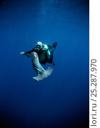 Купить «Diver holding a Scalloped Hammerhead (Sphyrna lewini), finned alive, thrown overboard to drown. Cocos Island, Costa Rica, Pacific Ocean. Model released.», фото № 25287970, снято 24 сентября 2018 г. (c) Nature Picture Library / Фотобанк Лори