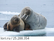 Купить «Walrus (Odobenus rosmarus) cow and calf rest on an ice floe along the northern coast of Spitsbergen and the Svalbard Archipelago, Norway, Arctic Ocean, July», фото № 25288354, снято 15 августа 2018 г. (c) Nature Picture Library / Фотобанк Лори