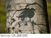Купить «Stockdove (Columba oenas) shadow on the trunk of beech tree. Black Forest, Germany, April.», фото № 25288550, снято 26 марта 2019 г. (c) Nature Picture Library / Фотобанк Лори