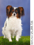 Купить «Female Papillon / Butterfly dog / Continental toy spaniel, 8 months», фото № 25288726, снято 26 марта 2019 г. (c) Nature Picture Library / Фотобанк Лори
