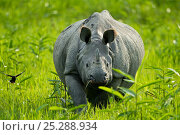 Купить «Indian / Asian one-horned rhinoceros (Rhinoceros unicornis) approaching, Kaziranga National Park, Assam, India», фото № 25288934, снято 19 сентября 2018 г. (c) Nature Picture Library / Фотобанк Лори