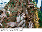 Купить «Yellowtail flounder (Limanda ferruginea) caught in an overflowing dragger fishing net. Stellwagon Bank, New England, USA, Atlantic Ocean, October 2009», фото № 25289122, снято 21 августа 2018 г. (c) Nature Picture Library / Фотобанк Лори