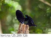 Купить «Victoria's riflebird (Ptiloris victoriae) male displaying in rainforest, Atherton Tablelands, Queensland, Australia, October», фото № 25289126, снято 26 марта 2019 г. (c) Nature Picture Library / Фотобанк Лори