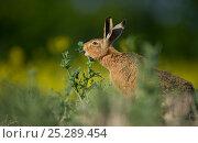 Купить «European brown hare (Lepus europaeus) adult feeding on fringes of rapeseed field, Hope Farm RSPB reserve, Cambridgeshire, UK, May», фото № 25289454, снято 18 декабря 2017 г. (c) Nature Picture Library / Фотобанк Лори