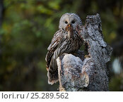 Купить «Ural Owl (Strix uralensis) with rodent prey perched abover her camouflaged chicks. Kuusamo, Finland, May.», фото № 25289562, снято 17 января 2019 г. (c) Nature Picture Library / Фотобанк Лори