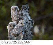 Купить «Ural Owl (Strix uralensis) chicks perched on (and camouflaged against) a dead tree stump. Kuusamo, Finland, May.», фото № 25289566, снято 17 января 2019 г. (c) Nature Picture Library / Фотобанк Лори